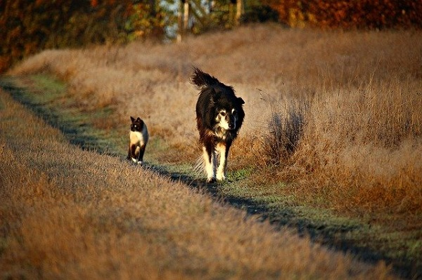 Siamese Cat walking with Border Collie Dog