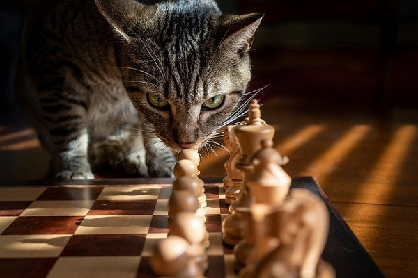 Tabby Cat contemplating First Move in Chess Game