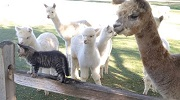 Alpacas love Kittens at the A to Z Alpacas Farm