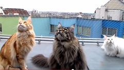 Video of Cute Maine Coon cats chattering at city birds