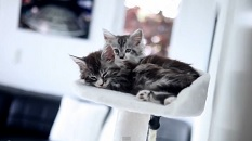 Funny Maine Coon Baby Cats Diva and Brandy