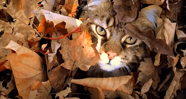Maine Coon Cat Tigger playing in the Autumn Leaves